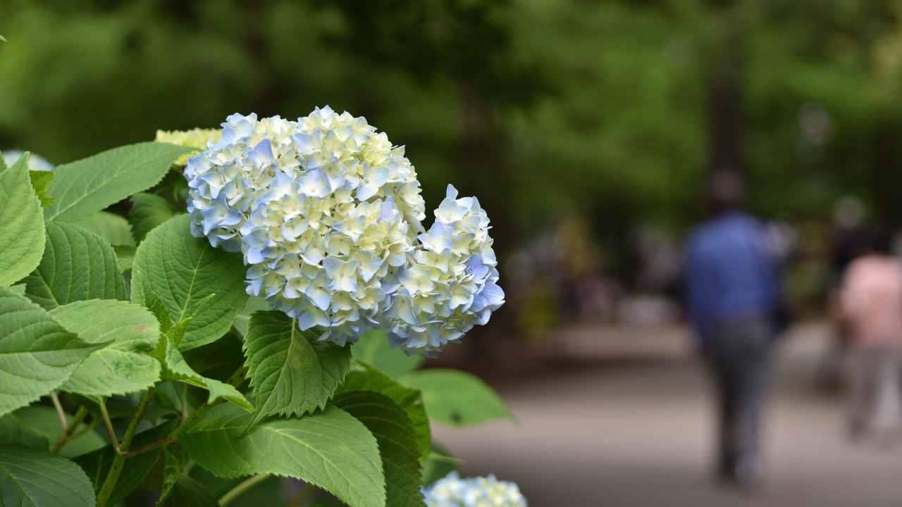 森林植物園の紫陽花