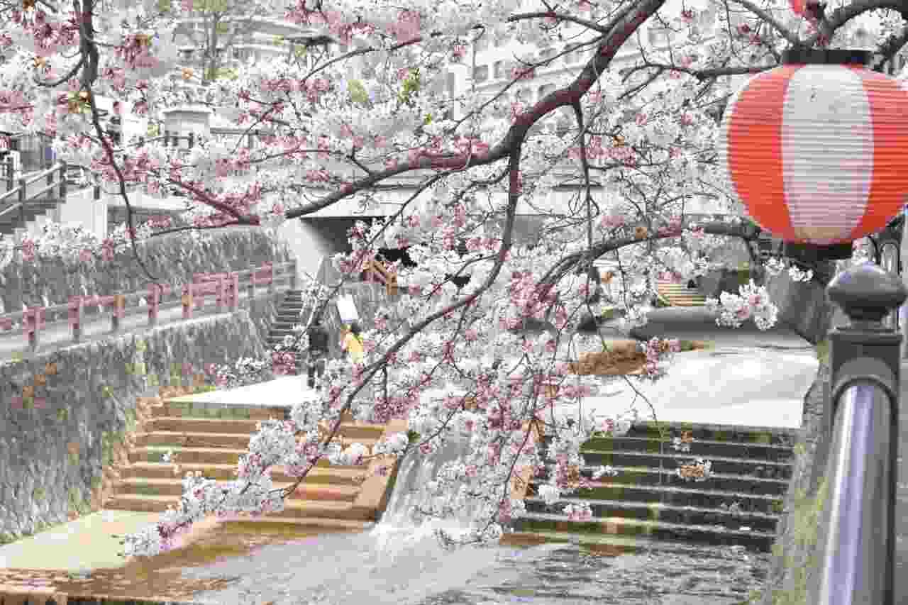 有馬温泉街の桜