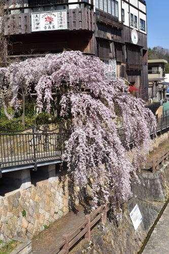 閤橋脇にある枝垂桜