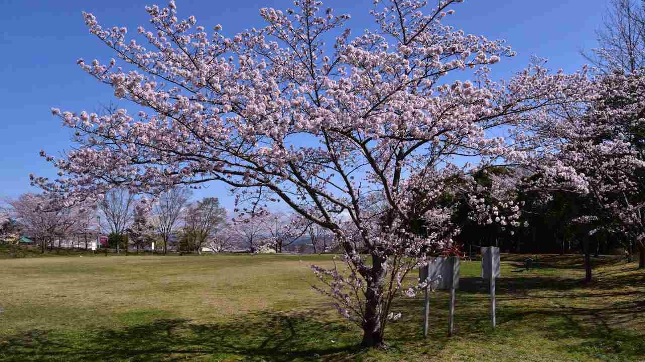 加工前の桜の写真