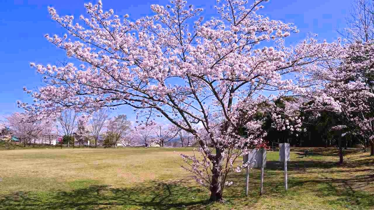 Googleフォトで加工した桜の写真