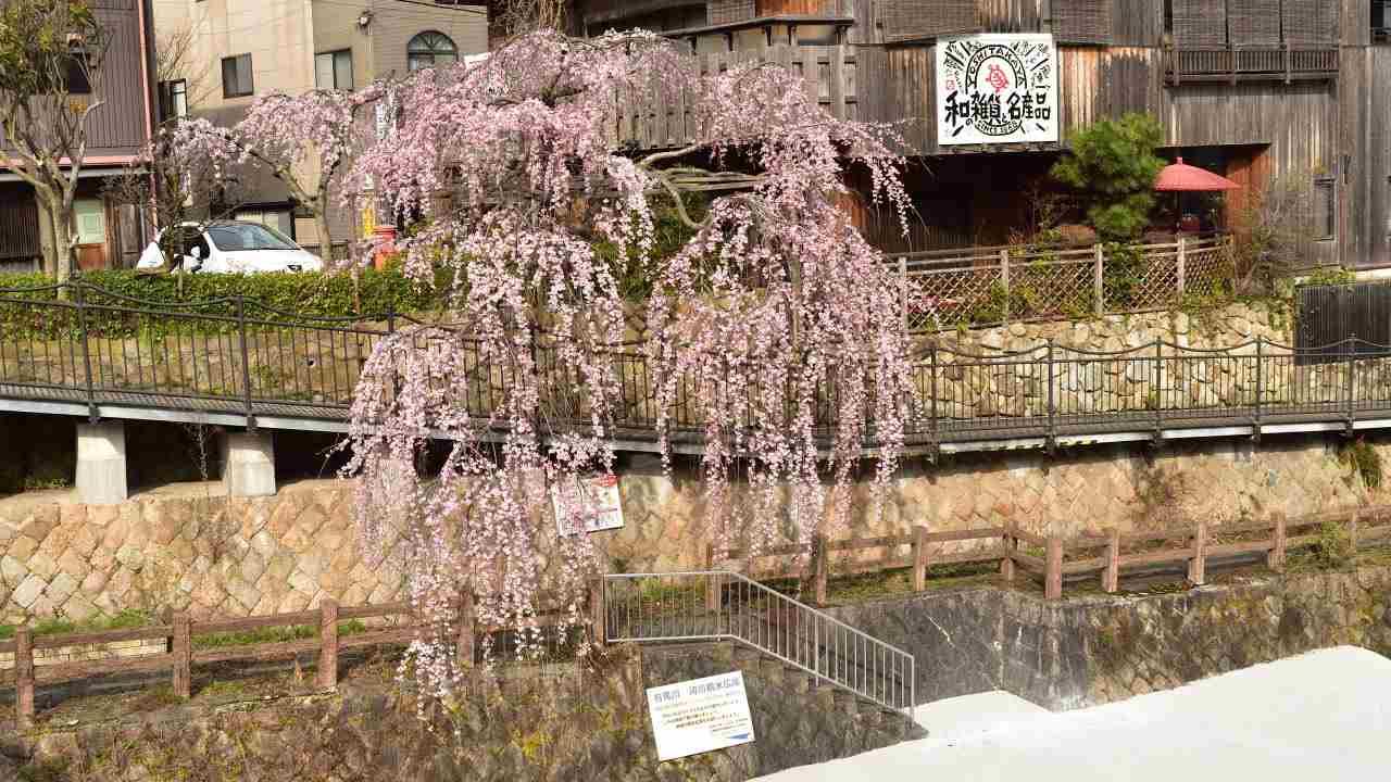 太閤橋沿いの枝垂桜