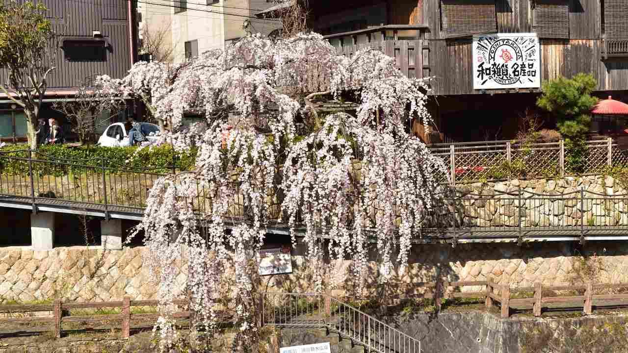 太閤橋脇の枝垂桜