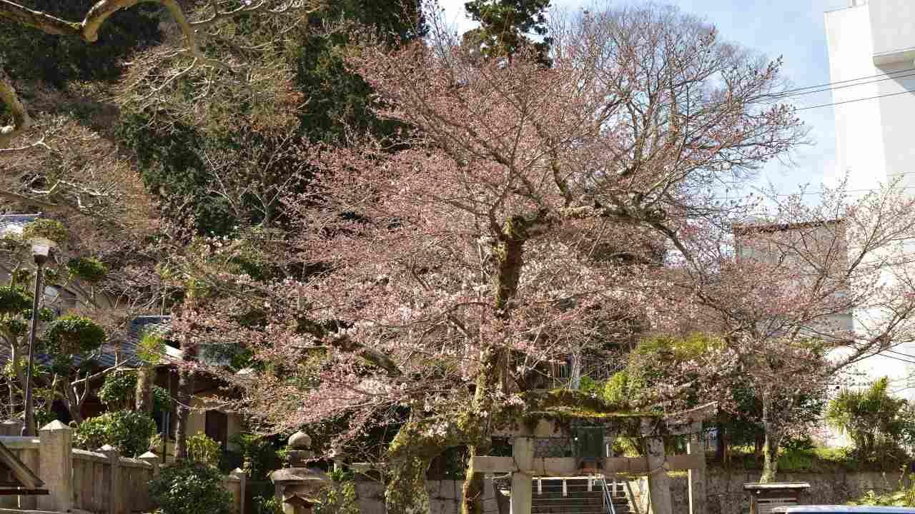 温泉寺境内の桜
